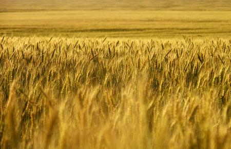 cultivo de trigo: Campo de trigo. cosecha de trigo.