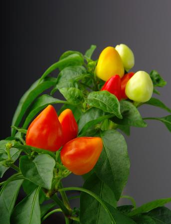 レッドホットチリペッパーズ母植物の果実として