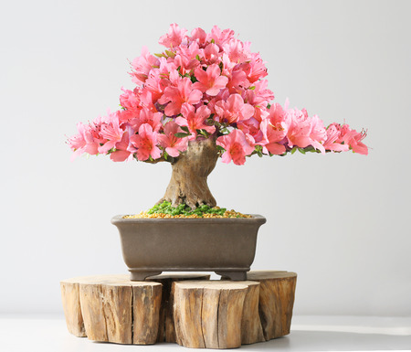 blooming bonsai azalea on exhibition
