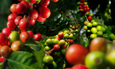 Harvest berries of coffee plantation.
