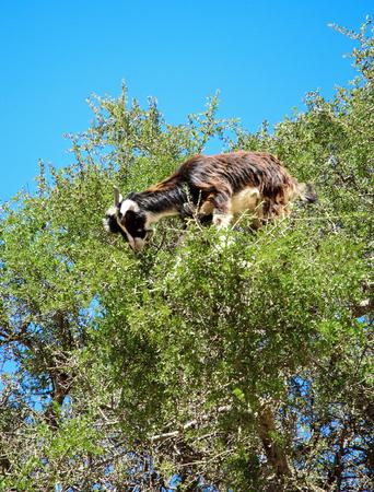 Moroccan goats on argan tree