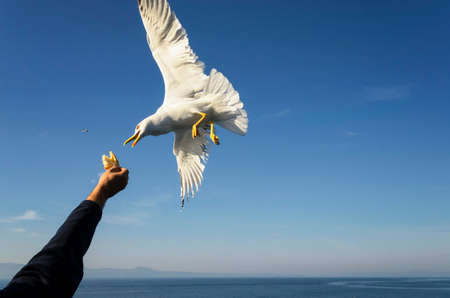 Feeding gulls from the hands of bread