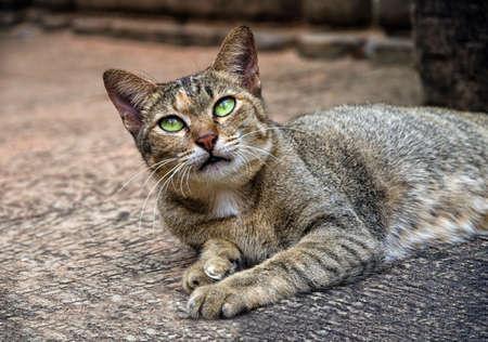 A cat from Angkor, Cambodia 版權商用圖片