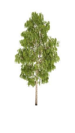 alpha: tree birch