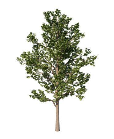 alpha: ash tree