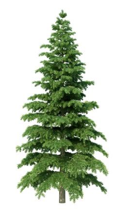 outdoor scenery: fir tree