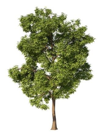 단풍 나무