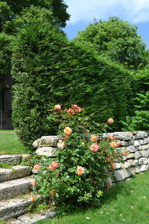 ornamental bush: Rose and bush on the stone wall