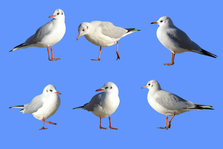 selections: Sea-gulls in different poses with paths selections without background and environment