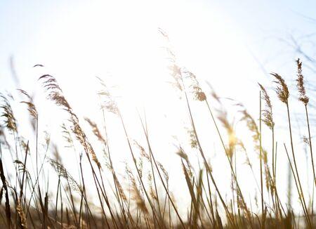 reed stem: Rush on defocus with sun rays
