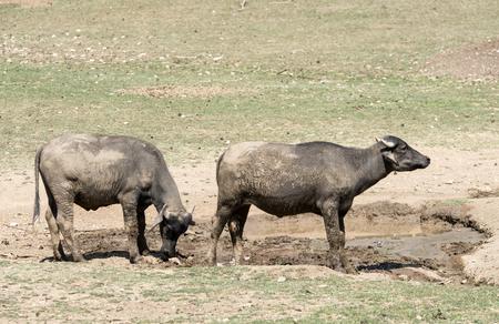 mire: Dirt wild bulls in puddle