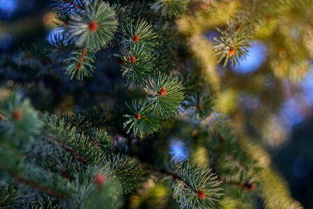Coniferous tree with pine needles