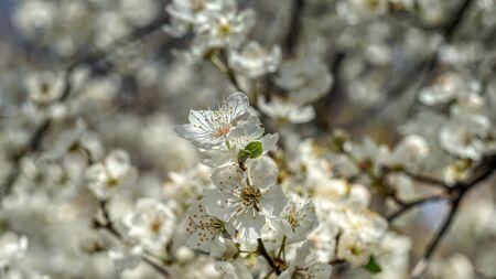 Flowering tree in the spring Stock fotó