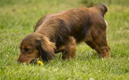 Young daschund dog tracking in the grass  Stock Photo