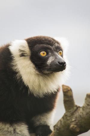 Portrait of a black and white ruffed lemur against the blue sky  photo