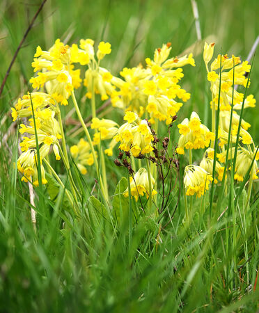 cowslip: Wild spring cowslip flowers on a green meadow.