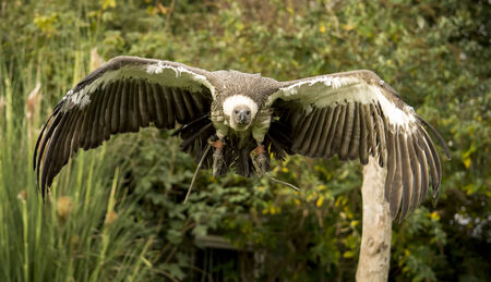 wing span: Closeup image of a vulture in flight.