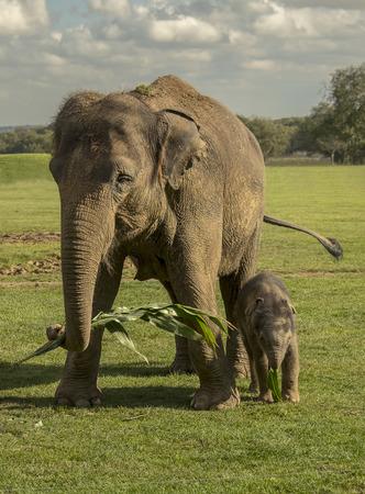 Aziatische olifant eten in de natuur met haar kalf.