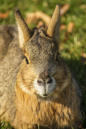 patagonian: Closeup portrait of a cute patagonian mara.