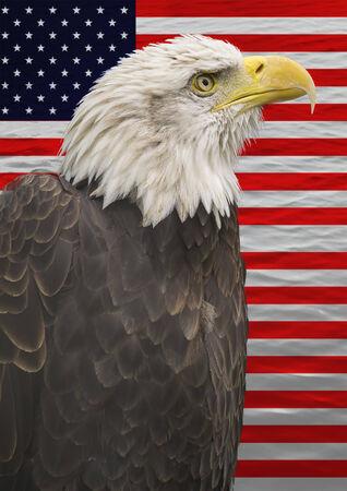 aguila calva: Retrato de un águila calva americana y la bandera americana.
