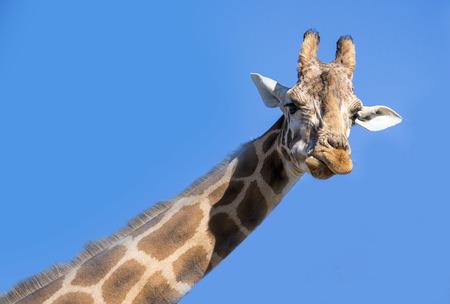 Giraffe neck and head against the clear blue sky.