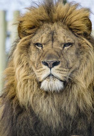 Nahaufnahmeportrait eines mächtigen afrikanischen Löwen. Standard-Bild - 36820410