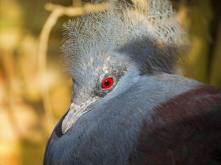 widlife: Beautiful victoria-crowned pigeon with blue feathers and red eyes.