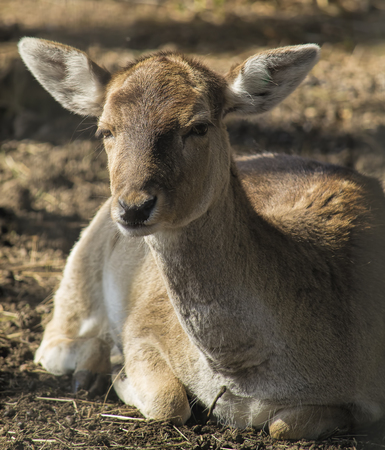 Female fallow deer resting on the ground. photo