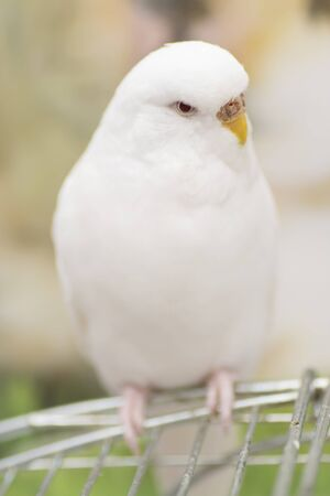 budgerigar: Portrait of a white albino budgerigar sitting on a cage. Stock Photo