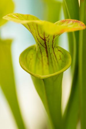 botanics: Carnivorous plant sarracenia also known as the North American Pitcher Plant. Stock Photo