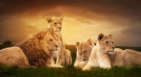 photo manipulation: Photo manipulation of African lions resting at sunset in the grass.
