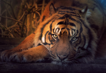 siberian tiger: Siberian tiger resting in the orange moonlight. Stock Photo