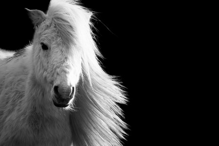 shetland pony: Beautiful white Shetland pony horse with long mane