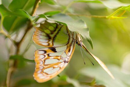 malachite: Macro of a pretty malachite butterfly sitting on a leaf