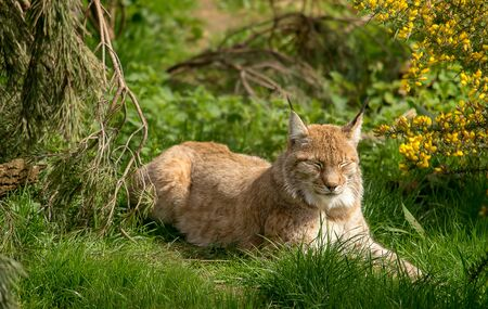 eurasian: Eurasian lynx resting in the green grass Stock Photo