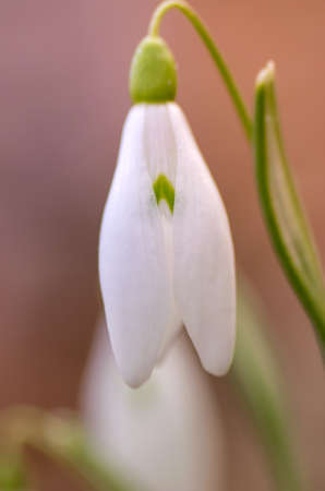 protected plant: Closeup image of a white snowdrop flower