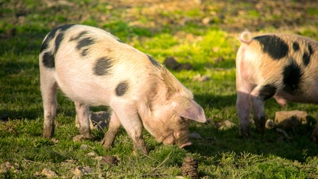 omnivore animal: Cute piglets grazing on a sunny day Stock Photo
