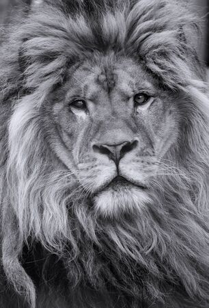 Black and white portrait of a male african lion Stock Photo