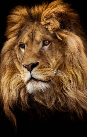 mighty: Isolated portrait of a mighty african male lion