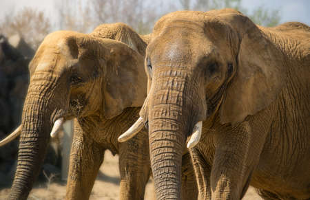huge: Closeup image of two huge african elephants
