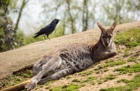 herbivore: Wallaby resting on the ground on a sunny day
