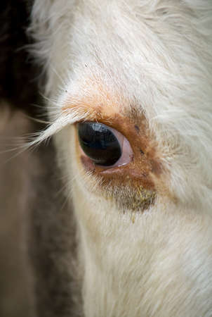 herbivore: Closeup image of an eye of a cow