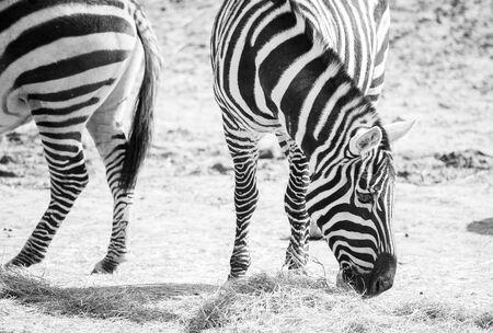Schwarz-Weiß-Bild von Zebras in der Natur weiden Standard-Bild - 60175454