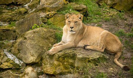 Weibliche Löwen allein auf den Felsen ruht Standard-Bild - 60456903