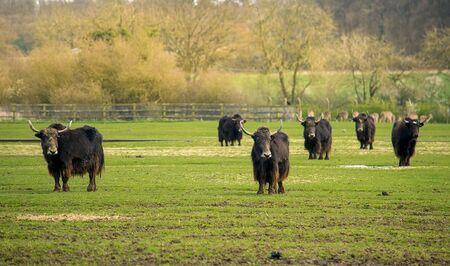 Herde von Yaks auf einer grünen Weide Standard-Bild - 60683352