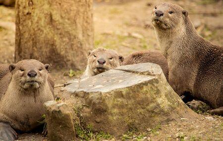 Drei nette Otter zwischen den Bäumen entspannen. Standard-Bild - 60695549