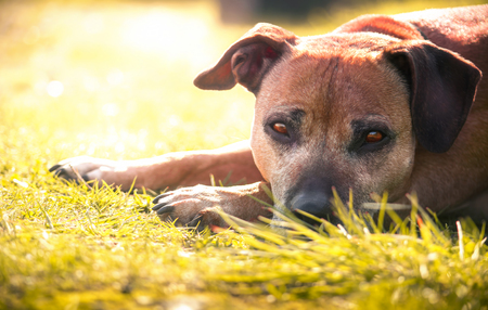 Staffordshire bull terrier Standard-Bild - 115908375
