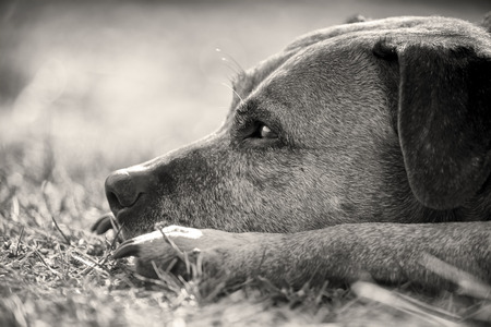 Black and white portrait of a staffordshire bull terrier Standard-Bild - 115908378