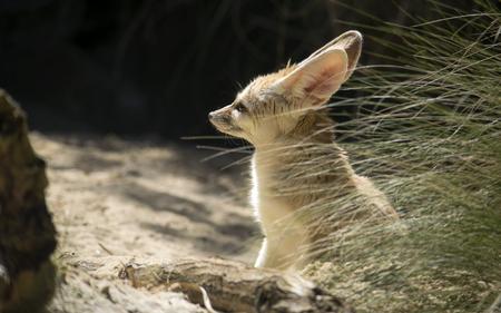 Fennec fox sitting outdoors on the sunshine Standard-Bild - 115908383