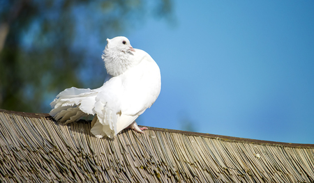 White dove sitting on a wooden roof Standard-Bild - 115908388